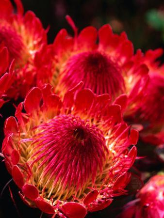 Beautiful and Exotic Protea Flower Grown on the Slopes of Haleakala Nat. Park, Maui, Hawaii, USA by Ann Cecil