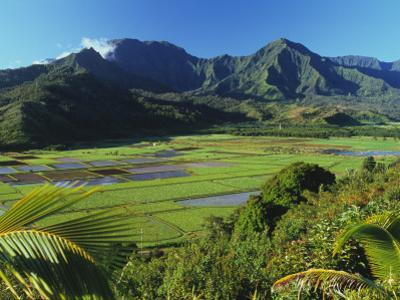 Taro Fields of Hanalei Valley with Mountain Backdrop by Ann Cecil