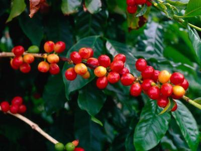 "The Red Coffee ""Cherry,"" Arabica Typica, Honaunau, Hawaii (Big Island), Hawaii, USA by Ann Cecil"