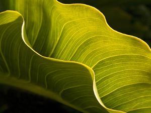 USA, California, Big Sur, Calla Lily Leaf at Garrapata State Park by Ann Collins