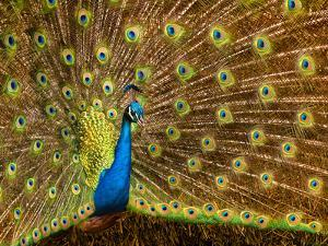 USA, California, Carlsbad, Leo Carrillo Ranch, Peacock in Spring by Ann Collins