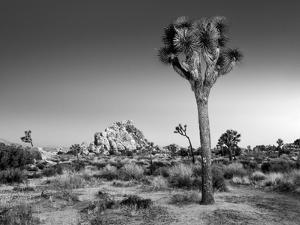 USA, California, Joshua Tree National Park, Dawn and Joshua Trees by Ann Collins