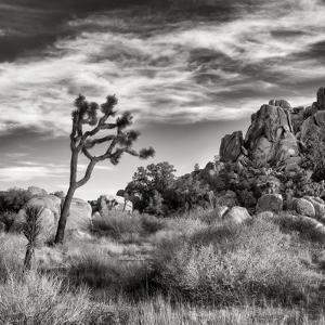 USA, California, Joshua Tree National Park, Joshua Tree in Mojave Desert by Ann Collins