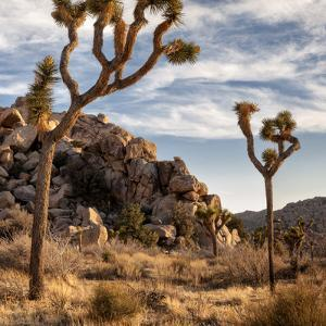 USA, California, Joshua Tree National Park, Joshua Trees in Mojave Desert by Ann Collins