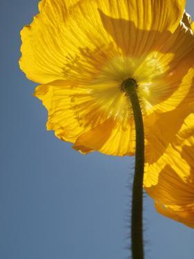 USA, California, San Diego, Iceland poppy by Ann Collins