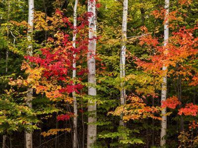 USA, New Hampshire, White Mountains, Maple and white birch