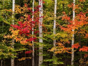 USA, New Hampshire, White Mountains, Maple and white birch by Ann Collins