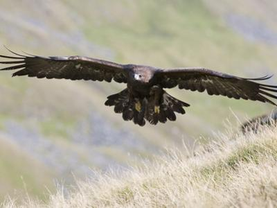 A Captive Golden Eagle (Aquila Chrysaetos), Flying Over Moorland, United Kingdom, Europe