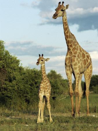 Adult and Young Giraffe Etosha National Park, Namibia, Africa