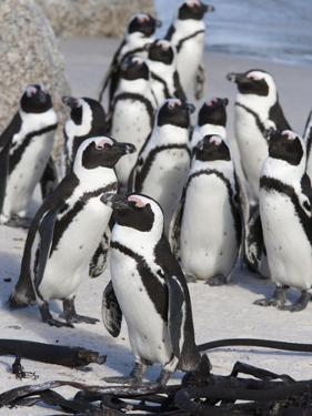 African Penguins (Spheniscus Demersus), Table Mountain National Park, Cape Town, South Africa by Ann & Steve Toon