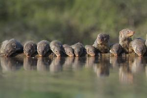 Banded Mongoose (Mungos Mungo) Drinking, Zimanga Private Game Reserve, Kwazulu-Natal, South Africa by Ann & Steve Toon