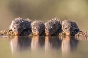 Banded Mongoose (Mungos Mungo) Drinking by Ann & Steve Toon
