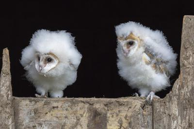 Barn Owl Chicks (Tyto Alba) Cumbria, June. Captive