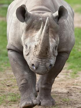 Black Rhino (Diceros Bicornis), Captive, Native to Africa by Ann & Steve Toon