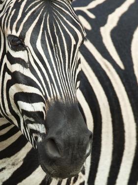 Burchell's (Plains) Zebra (Equus Burchelli), Mhkuze Game Reserve, Kwazulu Natal, South Africa by Ann & Steve Toon