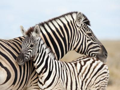 Burchell's Zebra, with Foal, Etosha National Park, Namibia, Africa