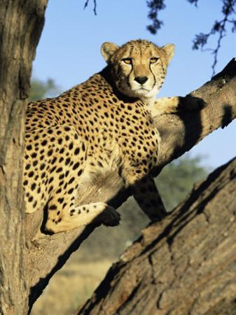 Cheetah, Acinonyx Jubartus, Sitting in Tree, in Captivity, Namibia, Africa