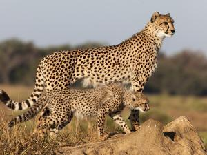 Cheetah with Cub (Acinonyx Jubatus), Phinda Private Game Reserve, Kwazulu Natal, South Africa by Ann & Steve Toon