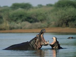 Common Hippopotamuses (Hippos), Hippopotamus Amphibius, Yawning, Kruger National Park, South Africa by Ann & Steve Toon