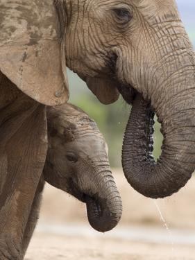 Elephant (Loxodonta Africana) and Baby, Addo Elephant National Park, Eastern Cape, South Africa by Ann & Steve Toon