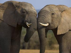 Elephants Socialising in Addo Elephant National Park, Eastern Cape, South Africa by Ann & Steve Toon