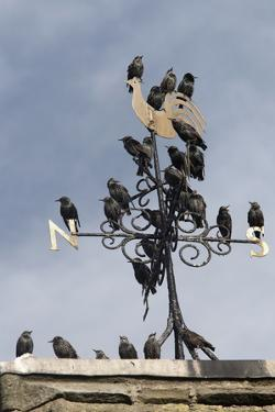 Flock of Starlings (Sturnus Vulgaris) Perched on Weather Vane, Chipping, Lancashire, England, UK by Ann & Steve Toon