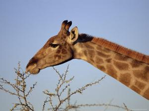 Giraffe Eating Thorny Bush, Giraffa Camelopardalis, Kruger National Park, South Africa, Africa by Ann & Steve Toon