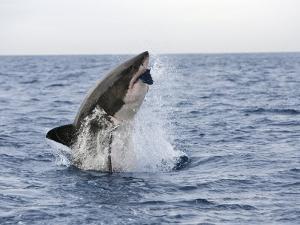 Great White Shark, Breaching to Decoy, Seal Island, False Bay, Cape Town by Ann & Steve Toon