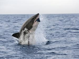 Great White Shark, Breaching to Decoy, Seal Island, False Bay, Cape Town by Ann & Steve Toon