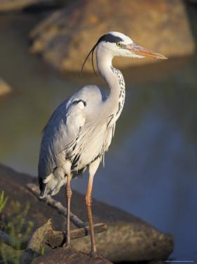 Grey Heron (Ardea Cinere), Kruger National Park, Mpumalanga, South Africa, Africa by Ann & Steve Toon