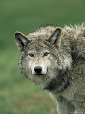 Grey Wolf, Canis Lupus, in Captivity, United Kingdom, Europe by Ann & Steve Toon