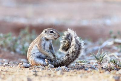 Ground Squirrel (Xerus Inauris) Sitting On Tail, Kgalagadi Transfrontier Park, Northern Cape