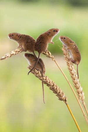 Harvest Mice (Micromys Minutus), Captive, UK, June
