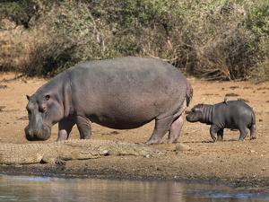 Hippopotamus (Hippopotamus Amphibius) with Calf, Kruger National Park, Mpumalanga, South Africa by Ann & Steve Toon