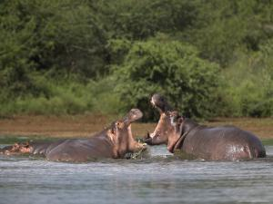 Hippos Fighting in Kruger National Park, Mpumalanga, South Africa by Ann & Steve Toon