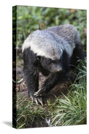 Honey Badger Or Ratel, Mellivora Capensis, Captive, Native To Africa