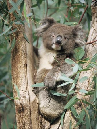 Koala Bear, Phascolarctos Cinereus, Among Eucalypt Leaves, South Australia, Australia