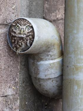 Little Owl (Athene Noctua) in Drainpipe, Captive, United Kingdom, Europe by Ann & Steve Toon