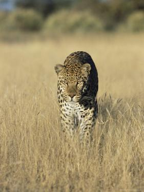 Male Leopard, Panthera Pardus, in Capticity, Namibia, Africa by Ann & Steve Toon