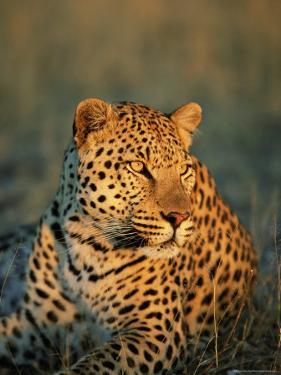 Male Leopard, Panthera Pardus, in Captivity, Namibia, Africa by Ann & Steve Toon
