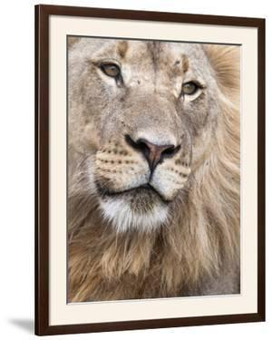 Male Lion (Panthera Leo), Addo National Park, Eastern Cape, South Africa, Africa by Ann & Steve Toon