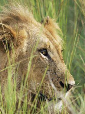 Male Lion, Panthera Leo, in the Grass, Kruger National Park, South Africa, Africa by Ann & Steve Toon