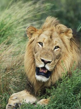 Male Lion, Panthera Leo, Kruger National Park, South Africa, Africa by Ann & Steve Toon