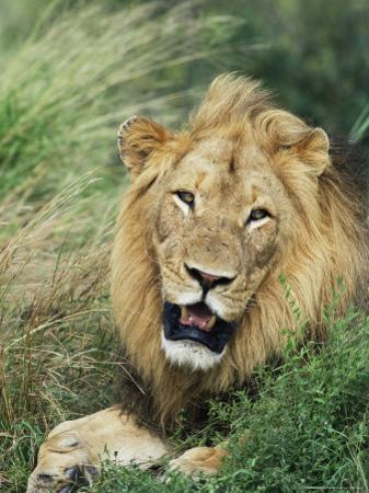 Male Lion, Panthera Leo, Kruger National Park, South Africa, Africa