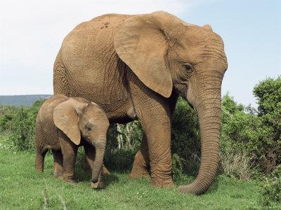 Mother and Calf, African Elephant (Loxodonta Africana) Addo National Park, South Africa, Africa