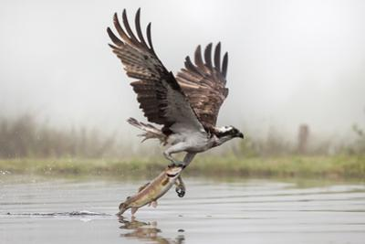 Osprey (Pandion Haliaetus) Catching Trout, Rothiemurchus Estate, Cairngorms, Scotland, UK, July