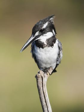 Pied Kingfisher (Ceryle Rudis), Intaka Island, Cape Town, South Africa, Africa by Ann & Steve Toon