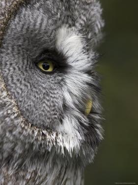 Portrait of a Great Grey Owl (Strix Nebulosa), Captive, United Kingdom, Europe by Ann & Steve Toon