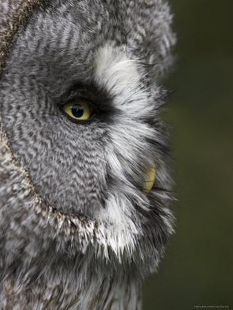 Portrait of a Great Grey Owl (Strix Nebulosa), Captive, United Kingdom, Europe
