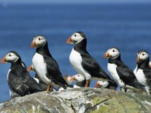 Puffins (Fratercula Arctica), Farne Islands, off Northumbria, England, United Kingdom, Europe by Ann & Steve Toon